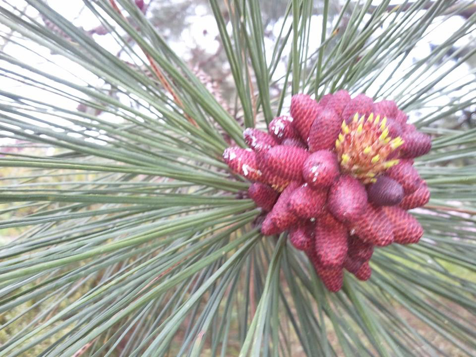 The-Arboretum-at-South-Seattle-Community-College--Ponderosa-Pine-blossom-(1).jpg