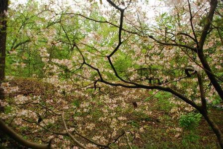 Donald E. Davis Arboretum  pinxterbloom azalea, Rhododendron periclymenoides