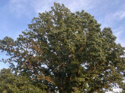 South HIlls Park tree