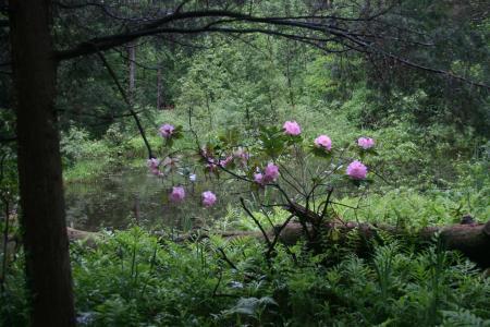 Pine Hollow Arboretum Rhododendron