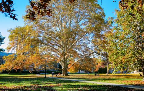 Photo by Tamar M. Thibodeau/Vassar College Sycamore 1926 Tree