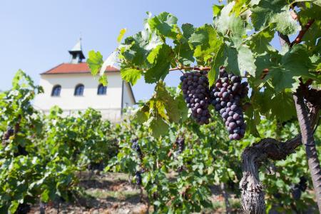 Vineyard at Prague Botanical Garden
