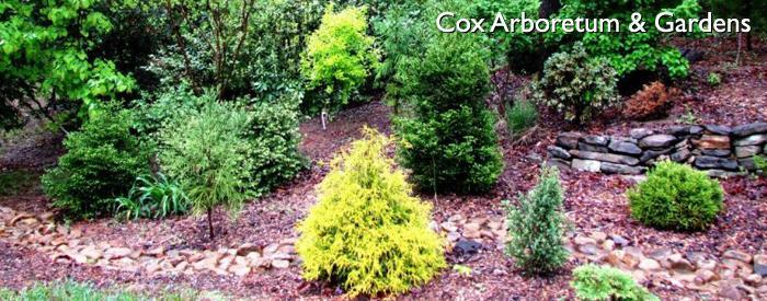 Cox Arboretum conifers