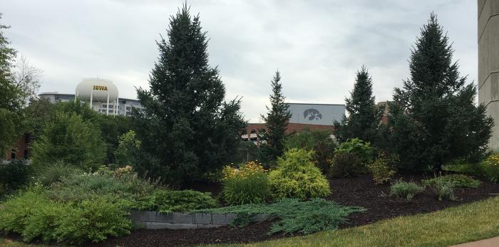 University of Iowa trees