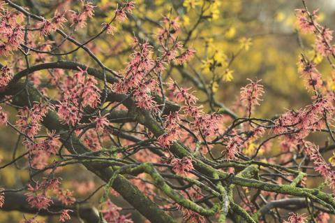 Arboretum Kalmthout - Hamamelis x intermedia 'Ruby Glow'