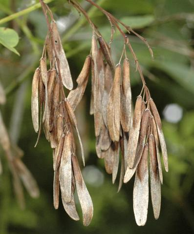 Ash seeds