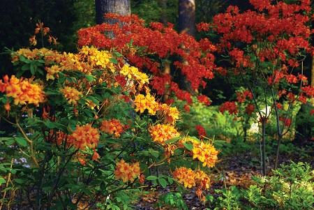 Azaleas, yellow, orange
