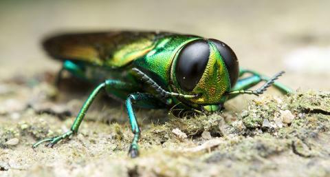 Emerald ash borer