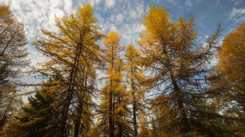 Thinning young western larch forests can boost their climate change resilience without reducing their ability to capture carbon.