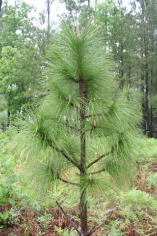 Pinus-palustris-Long-Leaf-