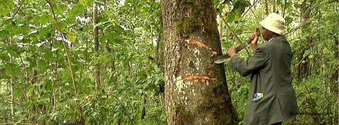 Prunus-africanus
