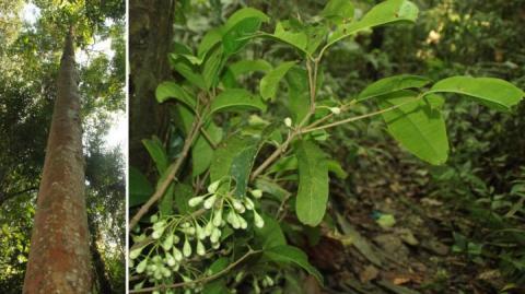Syzygium galanthum