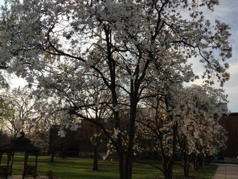 The Elmhurst College Arboretum magnolia