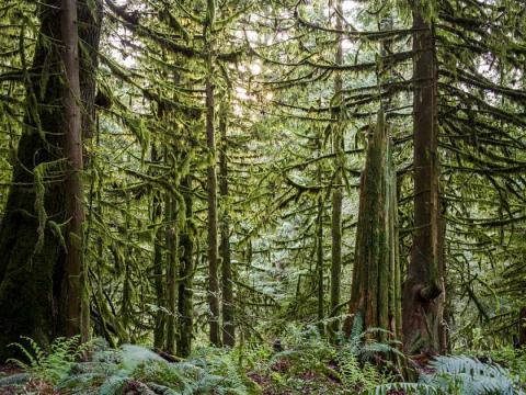 Scientists at the University of Victoria say tree-ring data suggest coastal regions of southern British are likely to be hit by severe droughts. A forest of Western red cedar and western hemlock tower over western sword ferns and spiny wood ferns near Bridal Veil Falls located east of Chilliwack. Ric Ernst