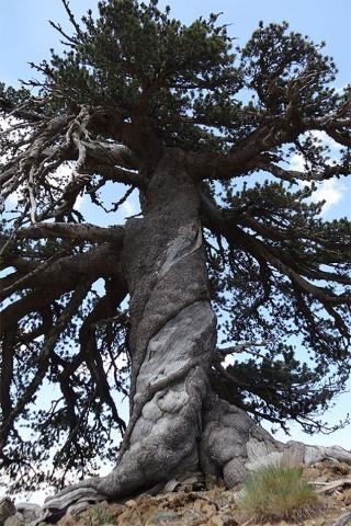 1000 yr old tree Greece