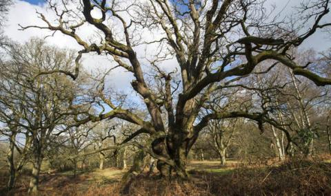 At least 60 Middle Age oaks have been unearthed in the grounds of Blenheim Palace