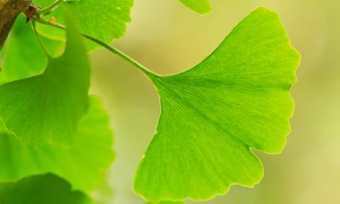 Ginkgo biloba, the only existing species of an ancient group of seed plants Photograph: Herve Lenain/Alamy