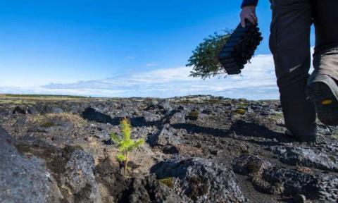 Iceland tree planting