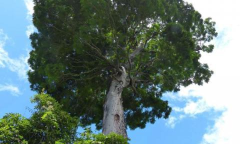 New tree species, credite: Royal Botanic Gardens, Kew