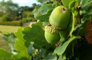 oak, Photo credit: Getty Images