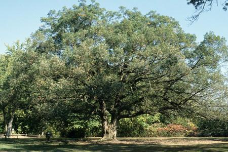 White oak tree in summer