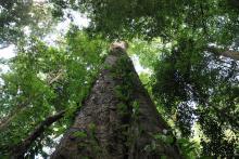 Africa tall tree