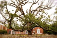 oldest oak