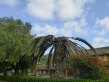 South American palm