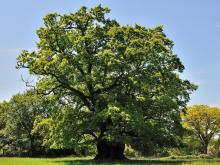 This 850-year-old ancient oak at King's Walden is among 117 examples dating back 800 to 1,000 years Aljos Farjon