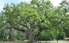 old tree UK