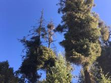 Every year, dwarf mistletoe and bark beetles attack trees at Bogus Basin from the ground up