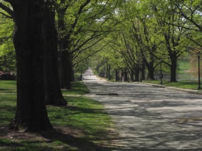 College Lane allee of oaks