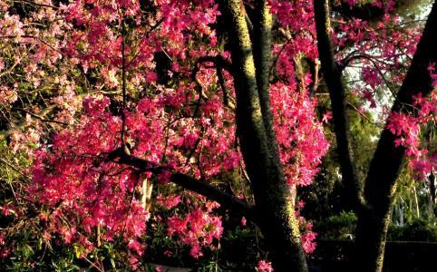 Los Angeles County Arboretum & Botanic Garden Floss silk tree