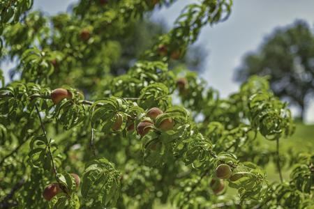 UT Dallas tree