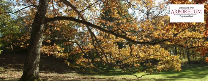 Bard College - White Oak, fall leaves