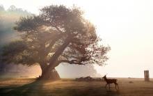 Anicent native oaks